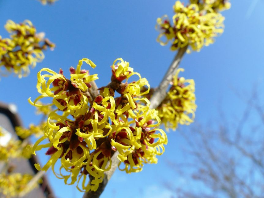 Witch hazel is a natural ingredient that has made it's way into the VIP arena of 'front of pack' skincare superstars. Those are the ones whose pretty faces stare back at you from the skincare aisles *winks*. These days it's most common in your skincare for 2 purposes, helping to 'tone' skin and helping to fight spots and acne.